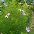 写真: コスモスが咲いています