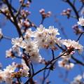写真: 染井吉野も3分咲きに