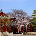 写真: 桜咲く三十三間堂