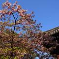写真: まだ残る河津桜(カワヅザクラ)