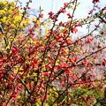 写真: 春色の三十三間堂