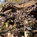 写真: 本殿前の染井吉野(ソメイヨシノ)