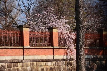 国立博物館の枝垂れ桜