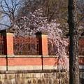 写真: 国立博物館の枝垂れ桜