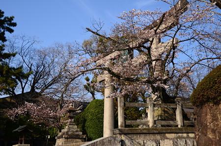 鳥居と染井吉野(ソメイヨシノ)