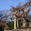 写真: 鳥居と染井吉野(ソメイヨシノ)