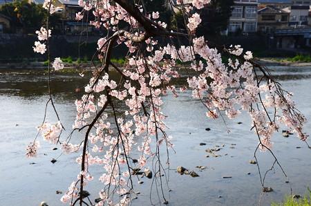 鴨川と枝垂れ桜
