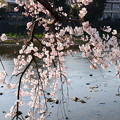 写真: 鴨川と枝垂れ桜
