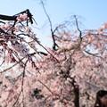 写真: 鴨川の枝垂れ桜
