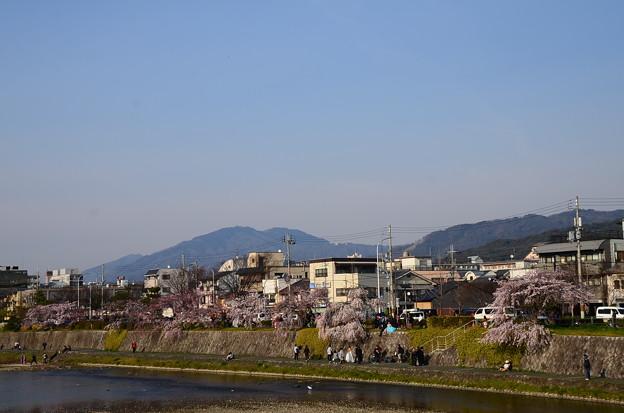 写真: 枝垂れ桜咲く鴨川
