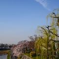 写真: 枝垂れ桜と枝垂れ柳の鴨川