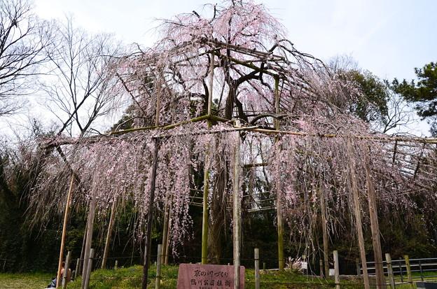 写真: 鴨川公園の枝垂れ桜(シダレザクラ)