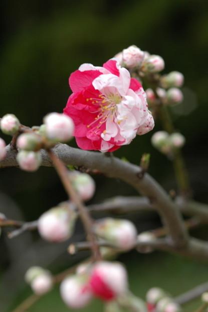 写真: 源平枝垂れ桃(ゲンペイシダレモモ)