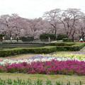 写真: 染井吉野咲く京都府立植物園