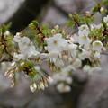 写真: 染井吉野×大島桜