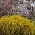写真: 連翹咲く桜園~