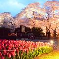 写真: 桜のライトアップ