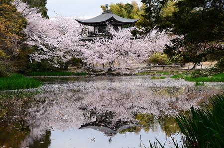 氷室池に映る桜