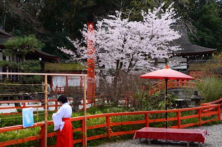 染井吉野咲く下鴨神社
