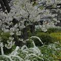 写真: 雪柳、連翹と天城吉野(アマギヨシノ)