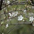 写真: 大島桜(オオシマザクラ)