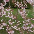 写真: 枝垂れ桜(シダレザクラ)
