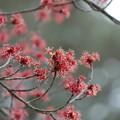 写真: 花の木(ハナノキ)