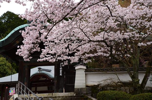 写真: 本願寺北山別院の染井吉野(ソメイヨシノ)