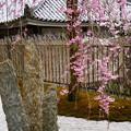 写真: 奔龍庭の八重紅枝垂れ(ヤエベニシダレ)