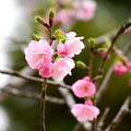 写真: 紅豊(ベニユタカ)