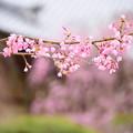 写真: 紅枝垂れ(ベニシダレ)