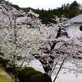 写真: 染井吉野、大島桜咲く武田薬用植物園