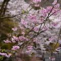 写真: 関西ゼミナールハウスの桜