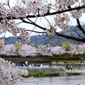 写真: 染井吉野満開の賀茂川