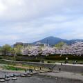 写真: 鴨川の桜風景