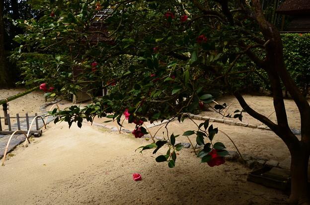 写真: 散り椿