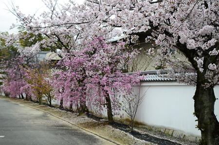 参道の桜達