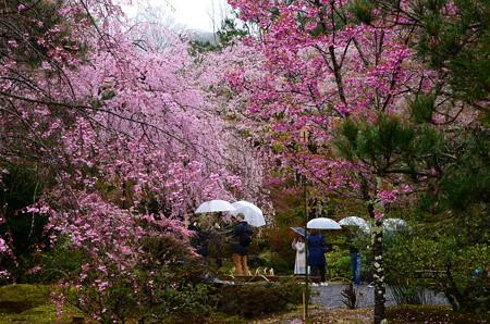 多宝殿前の桜