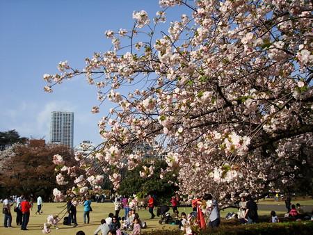 新宿御苑の桜風景