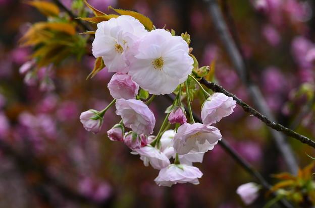 写真: 渦桜(ウズザクラ)