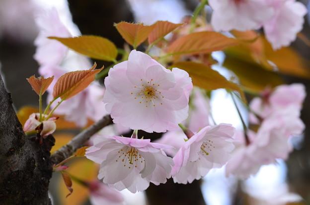 写真: 大原渚桜(オオハラナギサザクラ)