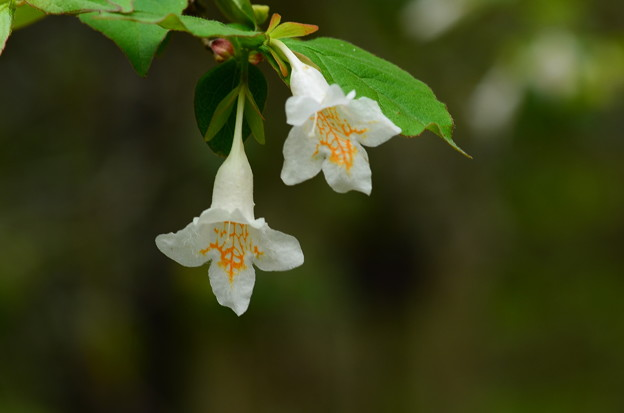 写真: 大衝羽根空木(オオツクバネウツギ)