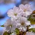 写真: 祇王寺祇女桜(ギオウジギジョザクラ)