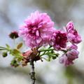 写真: 菊桜(キクザクラ)