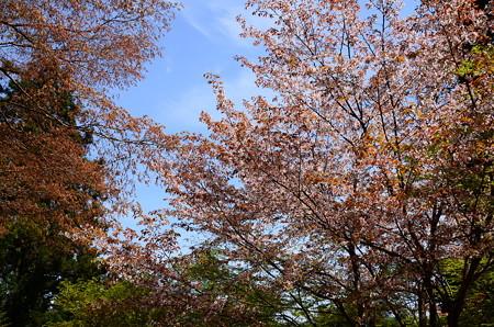 霊宝館前の山桜(ヤマザクラ)