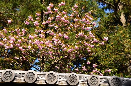 大宮御所の八重桜