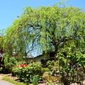 新緑の枝垂れ桜