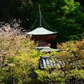 写真: 多宝塔と桜
