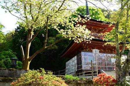 多宝塔脇の桜