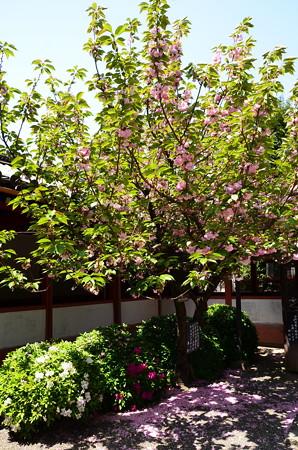 大師堂脇の関山(カンザン)